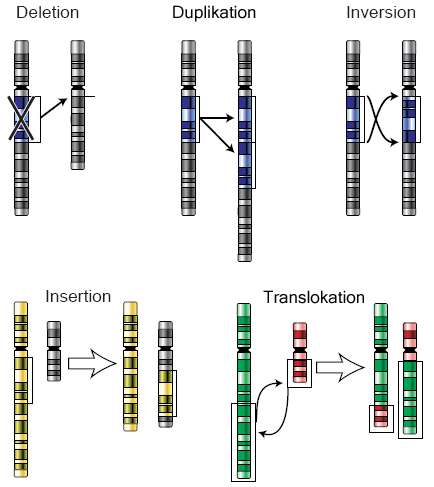 Chromosomenmutationen