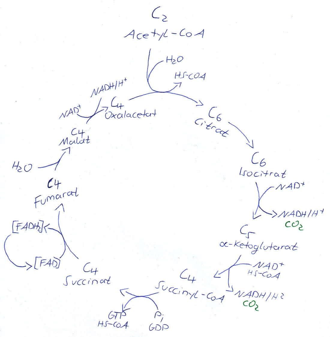 Stoffwechsel: Die Zellatmung